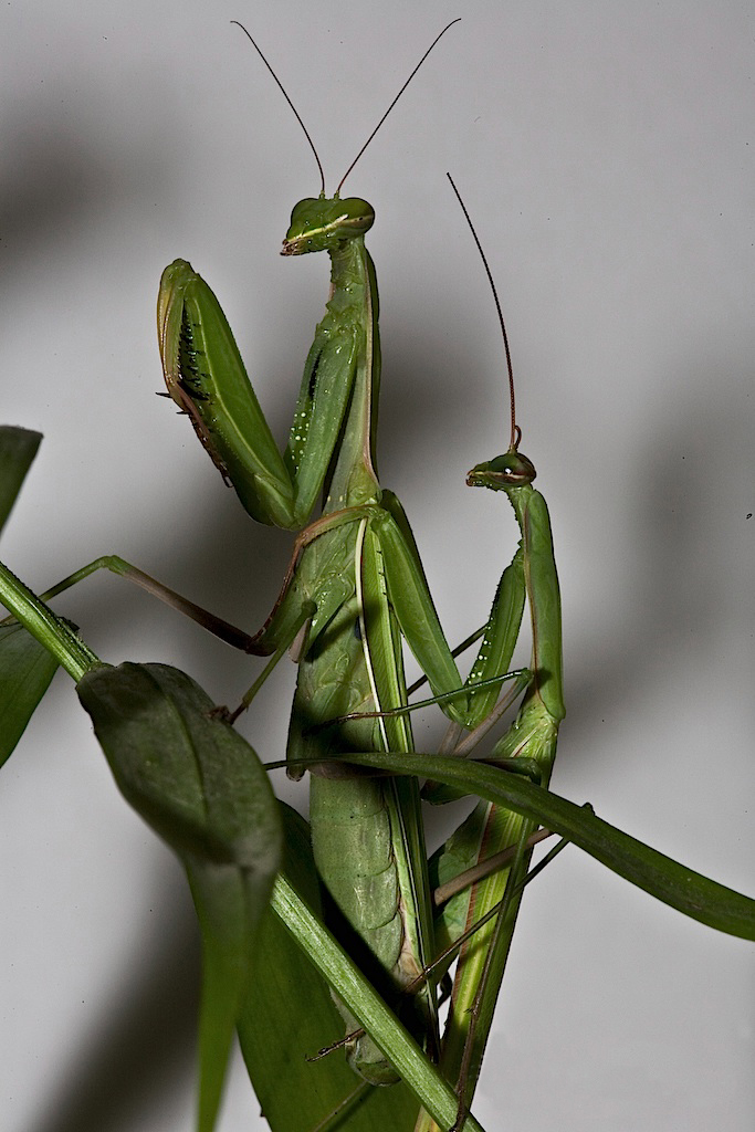 Praying_Mantis_Mating_European-35.jpg