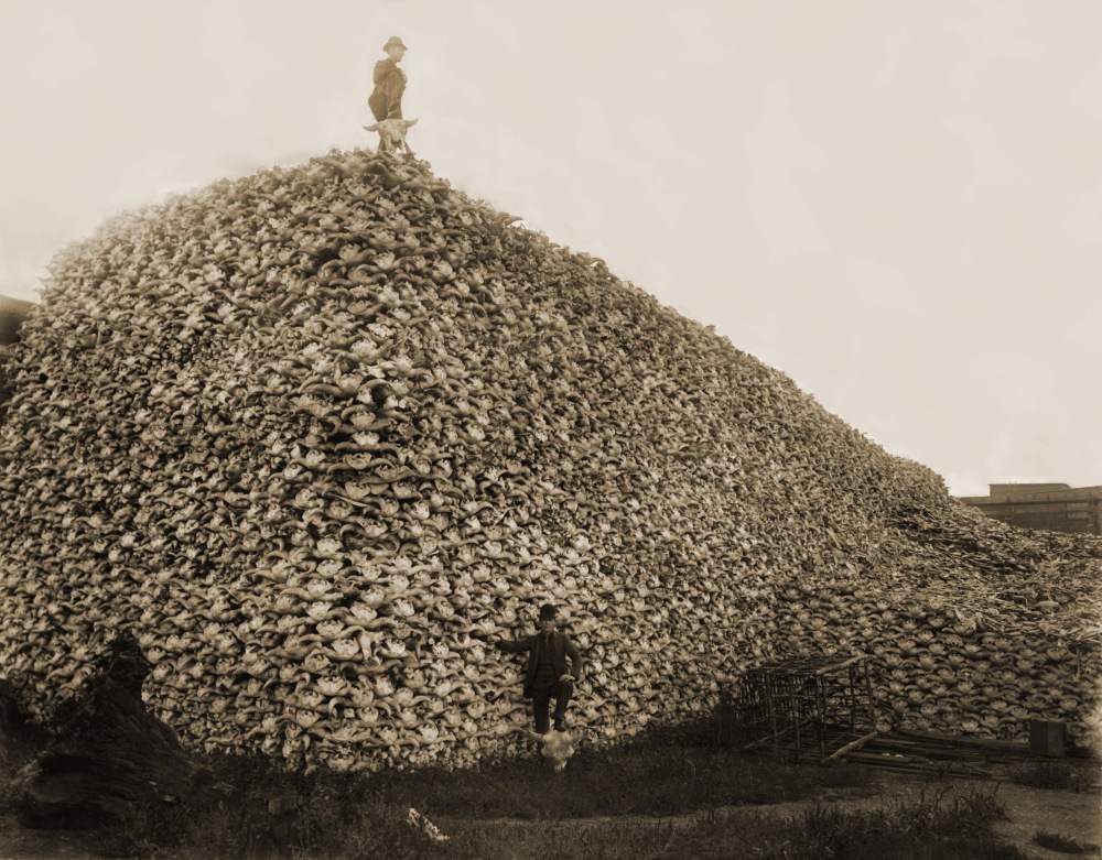 1892. Pile of American bison skulls waiting to be ground for fertilizer.jpg